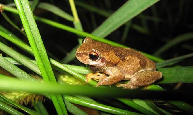 bermuda tree frogs - Images Of Frogs
