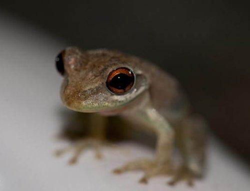 Bermuda Tree Frogs