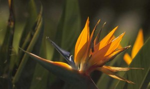 Bermuda Bird of Paradise-