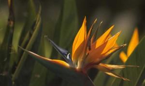 Bermuda Bird of Paradise-