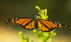 Bermuda Butterfly