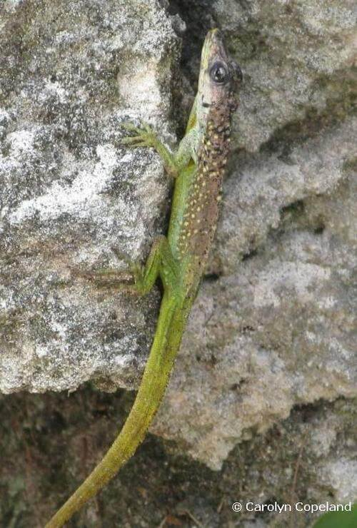 Lizards in Bermuda