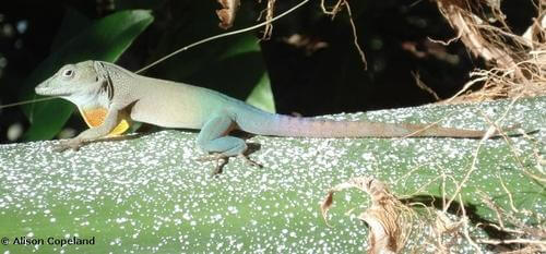 Bermuda Lizards