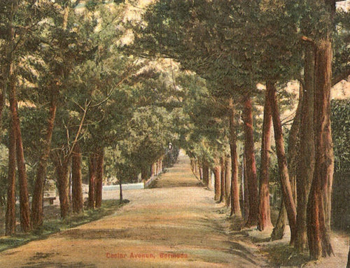 Do you know about Juniperus Bermudiana – Bermuda's National Tree?