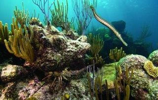 The Bermuda Lobster: Spiny Lobster - Panulirus Argus