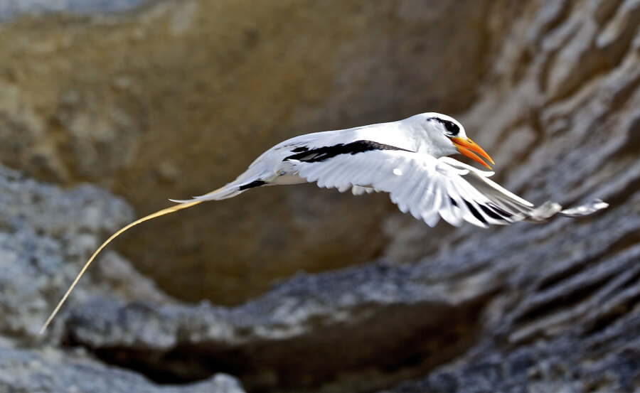 Bermuda Longtail by Pierangelo Lanfranchi